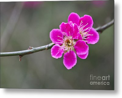 Metal Print featuring the photograph Japanese Flowering Apricot. by Clare Bambers