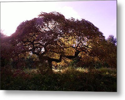 Japanese Maple Metal Print by Jerry Cahill
