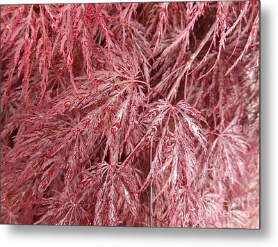 Metal Print featuring the photograph Japanese Maple by Laurel Best