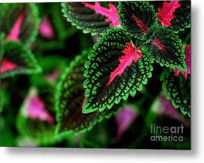 Joesphs Lace Metal Print by Chris Hill