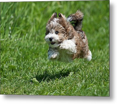 Jumping Puppy Metal Print by @Hans Surfer