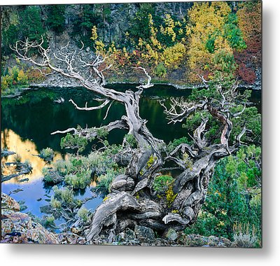 Juniper Metal Print by Tim Fleming