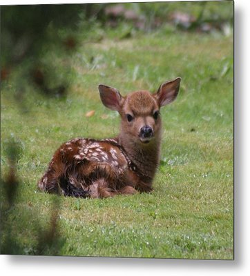 Just Born Bambi Metal Print by Kym Backland