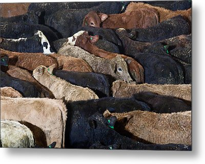 Just Cattle Metal Print