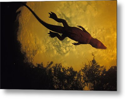 Just Days-old, A Nile Crocodile Makes Metal Print by Michael Nichols