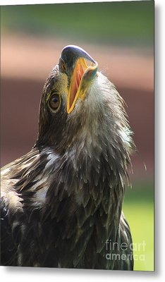 Metal Print featuring the photograph Juvenile Bald Eagle by Alyce Taylor