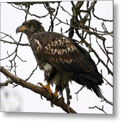 Juvenile Bald Eagle Metal Print by Carrie OBrien Sibley