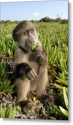 Juvenile Chacma Baboon Metal Print by Peter Chadwick