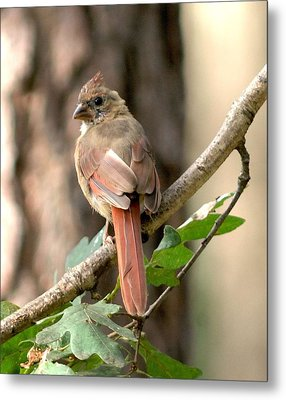 Juvenile Female Cardinal Camouflaged Metal Print by Diane Giurco
