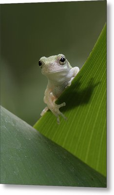Metal Print featuring the photograph Juvenile Grey Treefrog by Daniel Reed