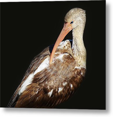 Juvenile Ibis Metal Print by Paulette Thomas
