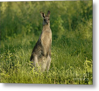 Kangaroo Female Metal Print by Bob Christopher