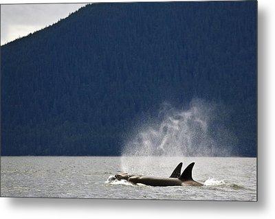 Killer Whales, Alaska, Usa Metal Print by Richard Wear