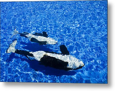 Killer Whales Metal Print by Dave Fleetham - Printscapes