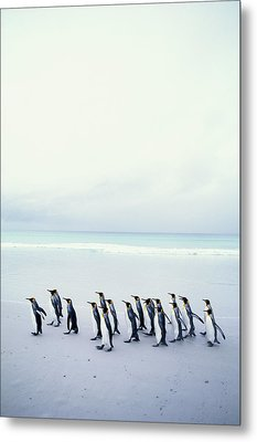 King Penguins (aptenodytes Patagonicus) Falkland Islands Metal Print by Kim Heacox