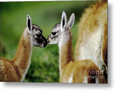 Metal Print featuring the photograph Kissing Guanacos - Torres Del Paine Np Chile by Craig Lovell