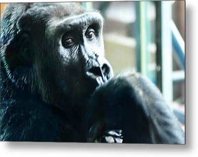 Kivu The Gorilla Metal Print by Bill Cannon