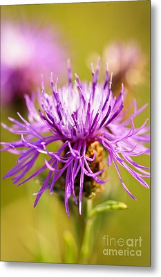 Knapweed Flower Metal Print