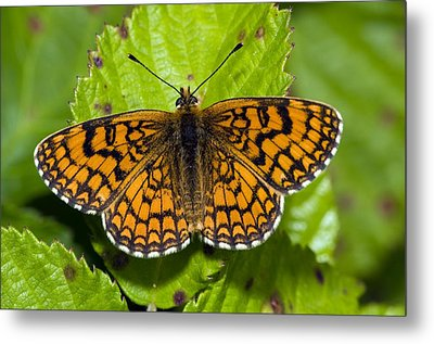Knapweed Fritillary Butterfly Metal Print by Paul Harcourt Davies