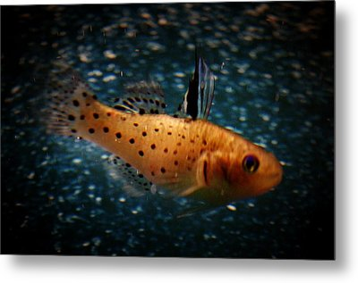 Knight Goby Metal Print by Gerald Kloss