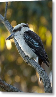 Metal Print featuring the photograph Kookaburra by Serene Maisey