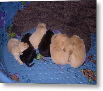 Lab Pups 3 Metal Print by Aimee L Maher Photography and Art Visit ALMGallerydotcom