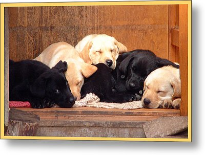 Metal Print featuring the photograph Labrador Puppies Sleeping by Richard James Digance