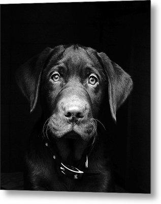 Labrador Puppy Metal Print by Www.timmygambin.com