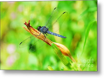 Metal Print featuring the photograph Lace Wings by Cindy Manero