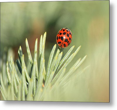 Metal Print featuring the photograph Lady Beetle On A Needle by Penny Meyers