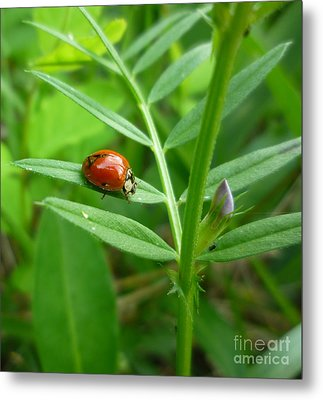 Metal Print featuring the photograph Ladybug And Bud by Renee Trenholm