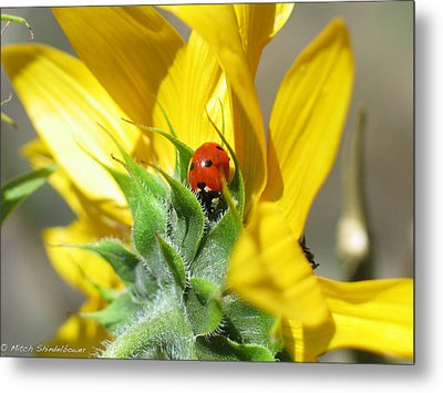 Metal Print featuring the photograph Ladybug by Mitch Shindelbower