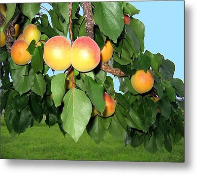 Lake Country Apricots Metal Print by Will Borden