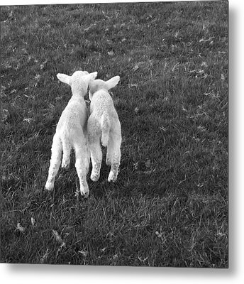 Lambs Metal Print by Michael Standen Smith