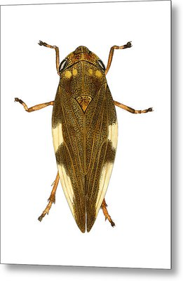 Large Froghopper Metal Print by Dr Keith Wheeler