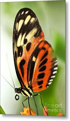 Large Tiger Butterfly Metal Print by Elena Elisseeva