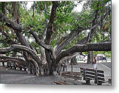 Metal Print featuring the photograph Largest Banyan Tree In The Usa by Kirsten Giving