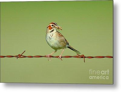 Lark Sparrow's Breakfast Metal Print by Robert Frederick