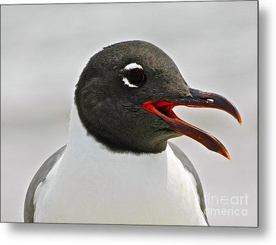 Metal Print featuring the photograph Laughing Gull Looking Left by Eve Spring