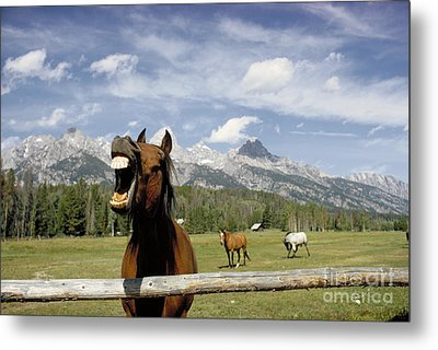 Laughing Horse Metal Print by Porterfld and Chickerng and Photo Researchers