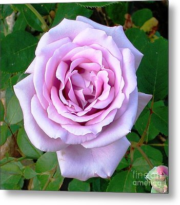 Metal Print featuring the photograph Lavendar Rose by Alys Caviness-Gober