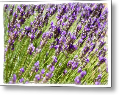 Metal Print featuring the photograph Lavender 2 by Ryan Weddle