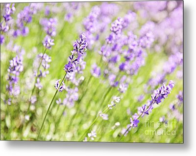 Lavender Blooming In A Garden Metal Print