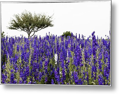 Lavender Field Metal Print by Lisa  Spencer