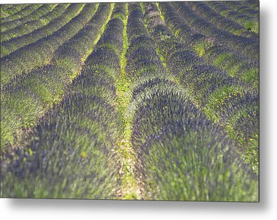 Lavender Field Metal Print by Yves ANDRE