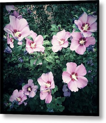 Lavender Hibiscus Flowers #hipstamatic Metal Print by Paul Cutright