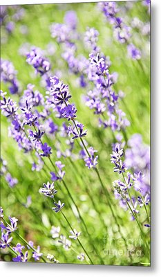 Lavender In Sunshine Metal Print by Elena Elisseeva