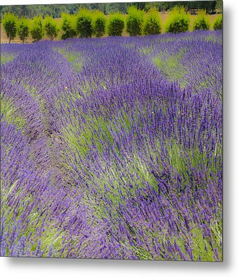 Lavender3 Metal Print by Ryan Weddle