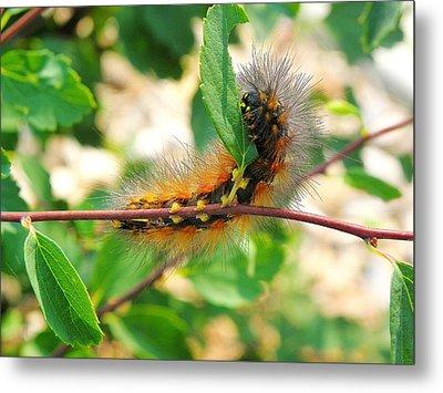 Leaf Eating Caterpillar Metal Print