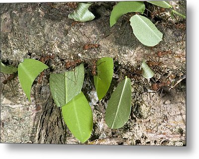 Leafcutter Ants Carrying Leaves Metal Print by Bob Gibbons